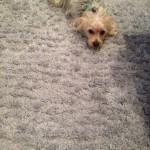 Elgin-Dog-carpet-clean